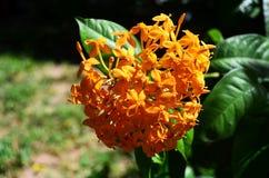 Λουλούδι Suntan σε κίτρινο Στοκ Εικόνες
