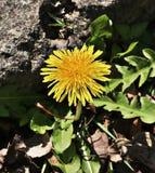 Λουλούδι Taraxacum ή πικραλίδων στοκ φωτογραφία με δικαίωμα ελεύθερης χρήσης