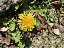 Λουλούδι Taraxacum ή πικραλίδων στοκ εικόνα με δικαίωμα ελεύθερης χρήσης