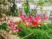 Λουλούδι thomsonae Clerodendrum Στοκ εικόνες με δικαίωμα ελεύθερης χρήσης