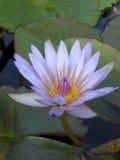 λουλούδι waterlily Στοκ εικόνες με δικαίωμα ελεύθερης χρήσης