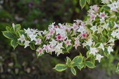 Λουλούδι Weigela στοκ εικόνα