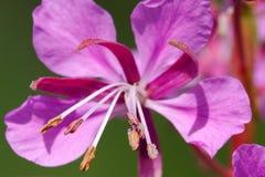 Λουλούδι Willowherb Στοκ εικόνα με δικαίωμα ελεύθερης χρήσης