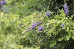 Λουλούδι Wisteria στην άνθιση Στοκ εικόνα με δικαίωμα ελεύθερης χρήσης