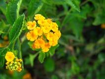 Λουλούδι Yelow Στοκ Εικόνα