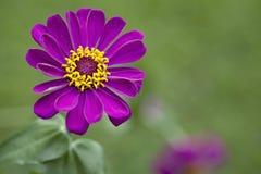 λουλούδι Zinnia Στοκ εικόνες με δικαίωμα ελεύθερης χρήσης