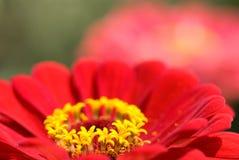 λουλούδι Zinnia Στοκ Εικόνες