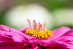 λουλούδι Zinnia Στοκ εικόνα με δικαίωμα ελεύθερης χρήσης