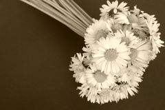 λουλούδια μαργαριτών Στοκ φωτογραφίες με δικαίωμα ελεύθερης χρήσης