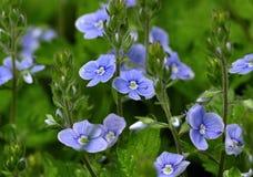 λουλούδια μικρά Στοκ Εικόνες