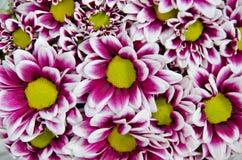 Λουλούδια χρυσάνθεμων Στοκ εικόνες με δικαίωμα ελεύθερης χρήσης
