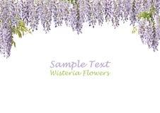 λουλούδια δύο wisteria Στοκ Εικόνες