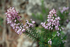 Λουλούδια Silvester Στοκ φωτογραφίες με δικαίωμα ελεύθερης χρήσης