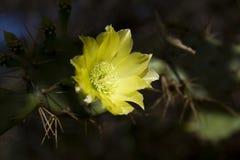 λουλούδι κάκτων Στοκ εικόνα με δικαίωμα ελεύθερης χρήσης