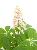 Λουλούδι κάστανων σε μια άσπρη ανασκόπηση Στοκ εικόνες με δικαίωμα ελεύθερης χρήσης