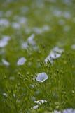 λουλούδι λιναριού Στοκ Εικόνες