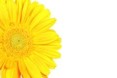 λουλούδι μαργαριτών κίτρ&i Στοκ Φωτογραφίες