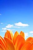 λουλούδι μαργαριτών Στοκ Εικόνα