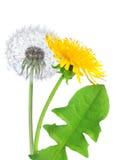 λουλούδι πικραλίδων πο&u Στοκ εικόνα με δικαίωμα ελεύθερης χρήσης
