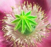 λουλούδι πυρήνων Στοκ εικόνα με δικαίωμα ελεύθερης χρήσης