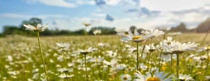 Λουλούδι της Daisy Στοκ εικόνες με δικαίωμα ελεύθερης χρήσης