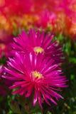 Λουλούδι της Daisy Στοκ φωτογραφίες με δικαίωμα ελεύθερης χρήσης
