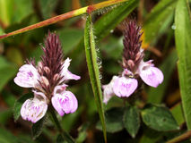 λουλούδι chiangdao 04 Στοκ Εικόνες