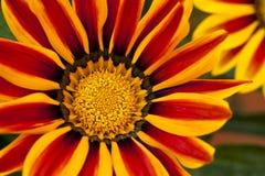 Λουλούδι Gazania Στοκ φωτογραφία με δικαίωμα ελεύθερης χρήσης