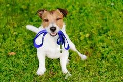 Λουρί εκμετάλλευσης σκυλιών στο στόμα που περιμένει τον περίπατο Στοκ Εικόνες