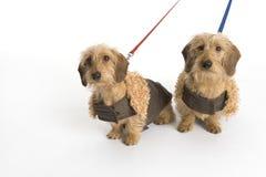 λουρί σκυλιών λίγα δύο Στοκ Φωτογραφίες