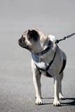 λουρί σκυλιών Στοκ Εικόνες