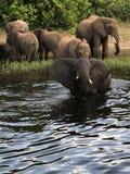 Λουτρό με τους γλυκούς αλλά άγριους ελέφαντες! στοκ εικόνα