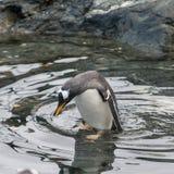 λουτρό penguin που παίρνει στοκ εικόνα