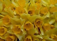 Λουλουδιών daffodil σχεδίων κινηματογραφήσεων σε πρώτο πλάνο θερινών τα ζωηρόχρωμα πετάλων λουλούδια φύσης φύλλων κίτρινα η flora στοκ εικόνες