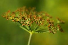 Λουλούδια άνηθου Στοκ Φωτογραφία