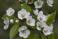 Λουλούδια άνοιξη, άνθη του δέντρου μηλιάς σε υπαίθριο Στοκ φωτογραφία με δικαίωμα ελεύθερης χρήσης