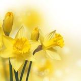 Λουλούδια άνοιξη. Κίτρινοι νάρκισσοι Στοκ φωτογραφίες με δικαίωμα ελεύθερης χρήσης