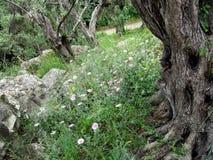 Λουλούδια άνοιξη μεταξύ του βόστρυχου ελιών Στοκ Φωτογραφίες