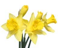 Λουλούδια άνοιξη. Νάρκισσοι που απομονώνονται κίτρινοι Στοκ φωτογραφία με δικαίωμα ελεύθερης χρήσης