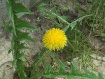 Λουλούδια άνοιξη πικραλίδων Στοκ Εικόνες