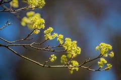 Λουλούδια άνοιξη σε έναν κλάδο Στοκ Εικόνες