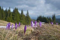 Λουλούδια άνοιξη σε ένα καθάρισμα στα βουνά Στοκ Φωτογραφίες