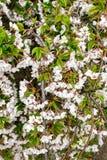 Λουλούδια άνοιξη στο κεράσι, κινηματογράφηση σε πρώτο πλάνο Στοκ Εικόνα
