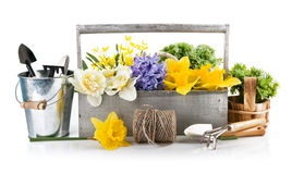 Λουλούδια άνοιξη στο ξύλινο καλάθι με τα εργαλεία κήπων Στοκ Εικόνες