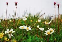 Λουλούδια άνοιξη στο χορτοτάπητα Στοκ Εικόνες