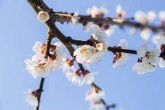 Λουλούδια άνοιξη του βερίκοκου Στοκ φωτογραφία με δικαίωμα ελεύθερης χρήσης