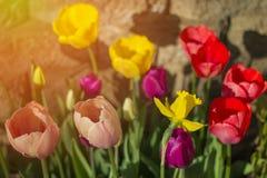 Λουλούδια άνοιξη τουλιπών στον κήπο με την εργασία τούβλου στο υπόβαθρο S Στοκ Φωτογραφίες