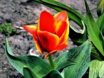Λουλούδια άνοιξη των τουλιπών στον κήπο στοκ φωτογραφία με δικαίωμα ελεύθερης χρήσης
