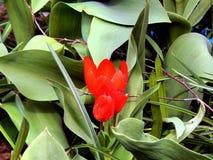 Λουλούδια άνοιξη των τουλιπών στον κήπο Στοκ εικόνες με δικαίωμα ελεύθερης χρήσης