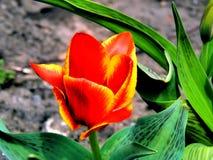 Λουλούδια άνοιξη των τουλιπών στον κήπο στοκ εικόνα με δικαίωμα ελεύθερης χρήσης